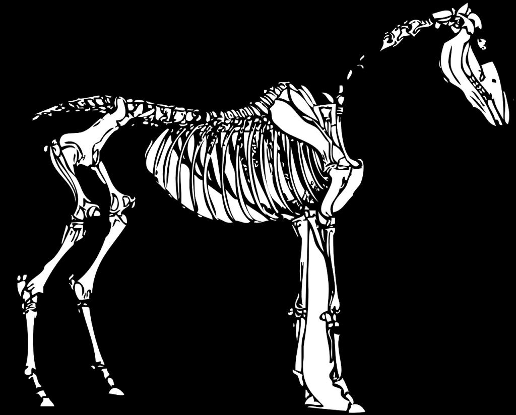 Skelett eines Pferdes